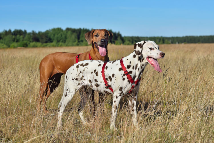 Rhodesian Ridgeback Puppies for Sale in Fort Worth Texas