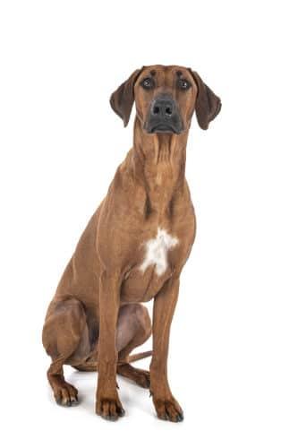 Rhodesian Ridgeback Puppies for Sale in Missouri City