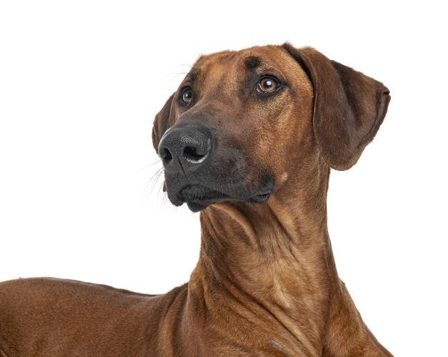 Rhodesian Ridgeback Puppies for Sale in San AntonioTexas