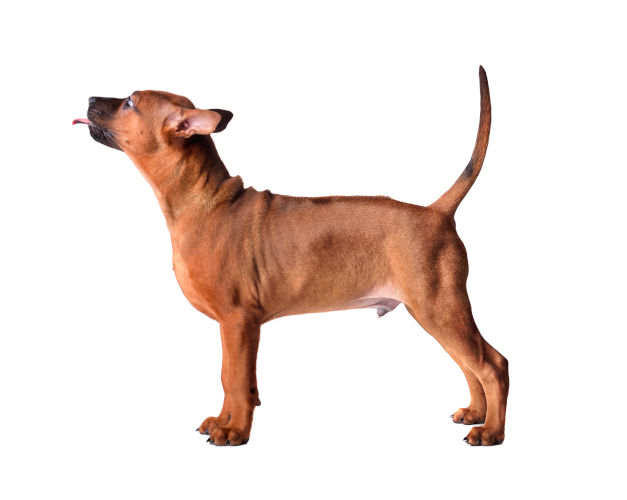 Rhodesian Ridgeback Puppies for Sale in San Marcos Texas