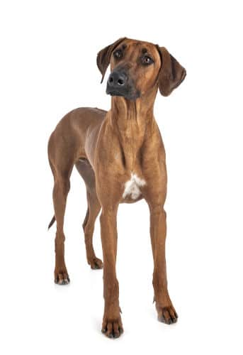 Rhodesian Ridgeback for Cats