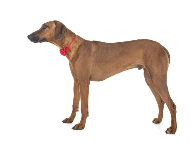 Rhodesian Ridgeback for Other Pets