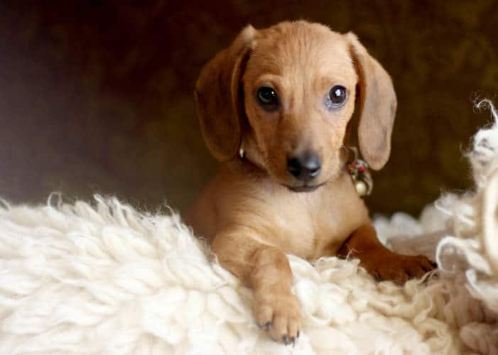 Best Family Dog in Amarillo