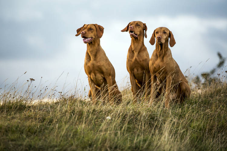 Rhodesian Ridgeback Breeding Rights in Laredo