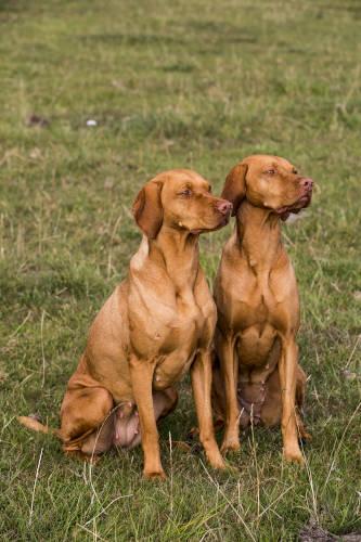 Rhodesian Ridgeback Breeding Rights in Plano