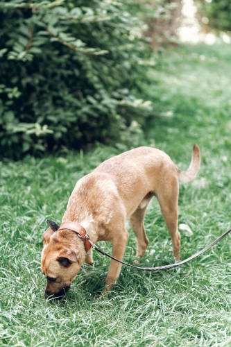 Rhodesian Ridgeback Breeding Rights in Tyler