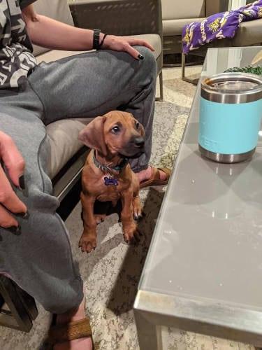 Rhodesian Ridgeback Puppies for Sale in Amarillo