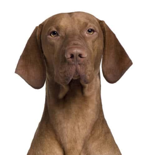Rhodesian Ridgeback Puppies for Sale in Arlington