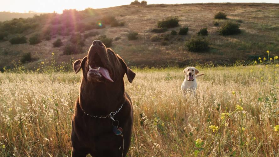 Rhodesian Ridgeback Puppies for Sale in Austin