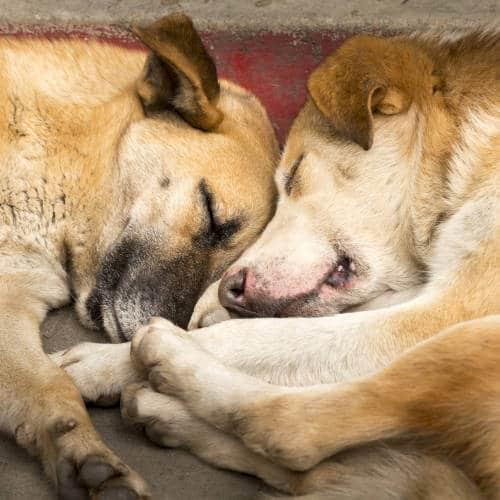 Rhodesian Ridgeback Puppies for Sale in Beaumont