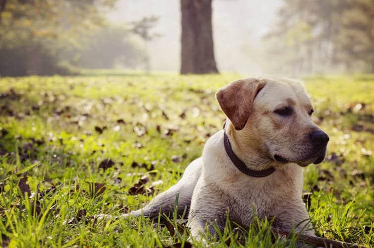 Rhodesian Ridgeback Puppies for Sale in Carrollton