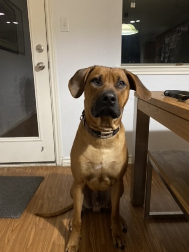 Rhodesian RidgebackPuppies for Sale in College Station Texas