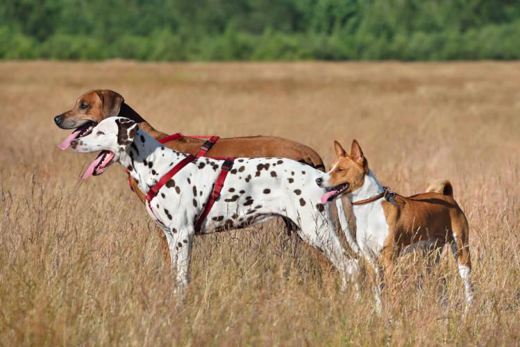 Rhodesian Ridgeback Puppies for Sale in Conroe