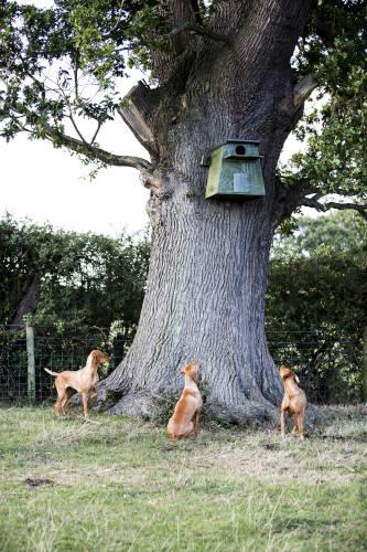 Rhodesian Ridgeback Puppies for Sale in Corpus Christi