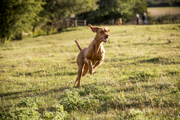 Rhodesian Ridgeback Puppies for Sale in Garland