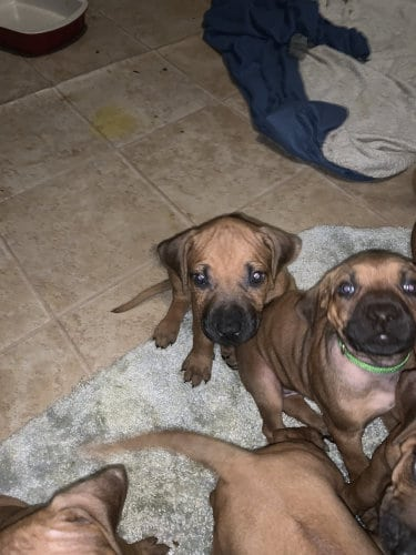 Rhodesian RidgebackPuppies for Sale in Georgetown Texas
