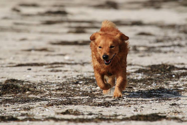 Rhodesian Ridgeback Puppies for Sale in Houston
