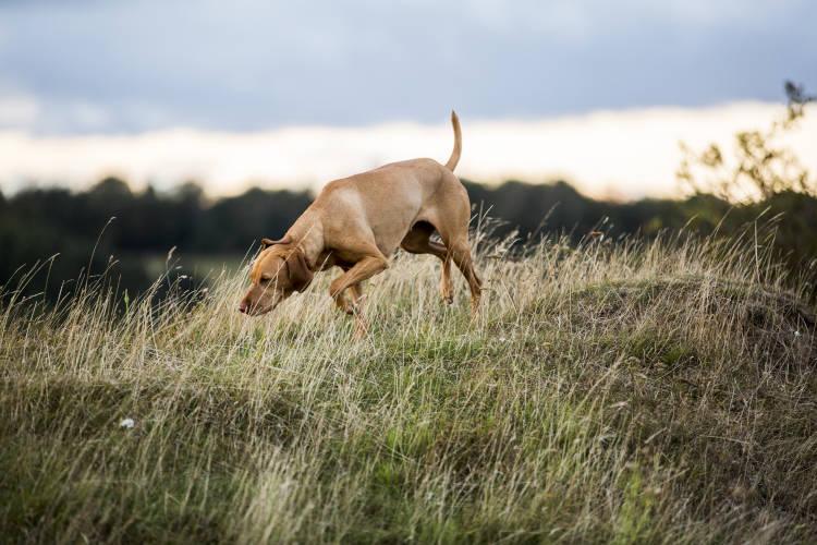 Rhodesian Ridgeback Puppies for Sale in Laredo