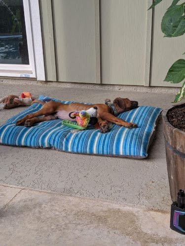 Rhodesian Ridgeback Puppies for Sale in Lewisville