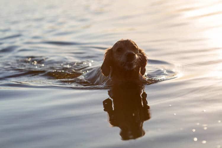 Rhodesian Ridgeback Puppies for Sale in Odessa