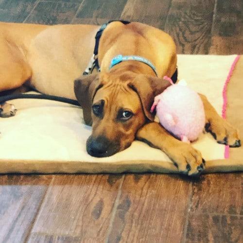 Rhodesian Ridgeback Puppies for Sale in Pasadena