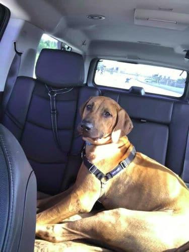Rhodesian Ridgeback Puppies for Sale in Pharr