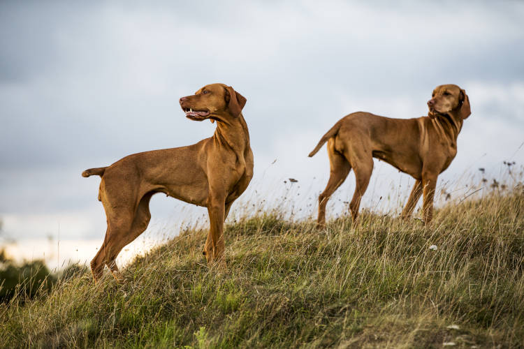 Rhodesian Ridgeback Puppies for Sale in Plano