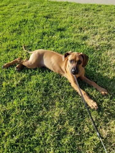 Rhodesian Ridgeback Puppies for Sale in Richardson