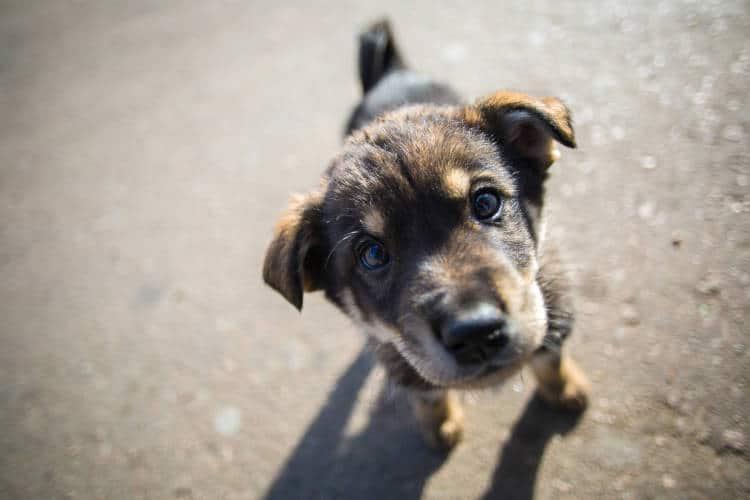 Rhodesian Ridgeback Puppies for Sale in San Antonio