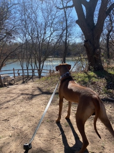 Rhodesian Ridgeback Puppies for Sale in the Woodlands