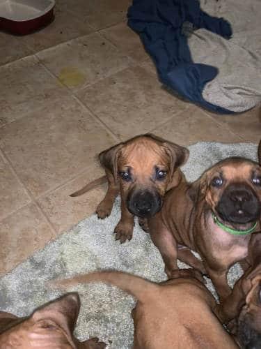 Top Rhodesian Ridgeback Puppies for Sale in Atascocita