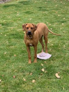 Rhodesian Ridgeback Male Puppy for Sale