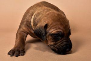 Rhodesian female puppies for sale Texas-2