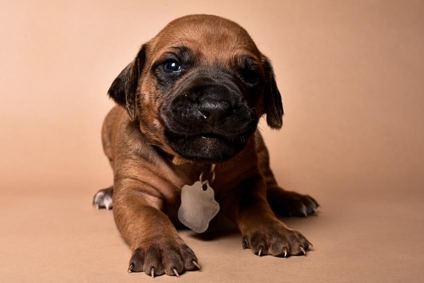 Rhodesian female puppies for sale Texas-6