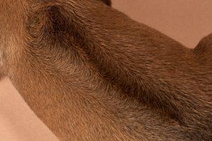 Rhodesian female puppies for sale Texas-9