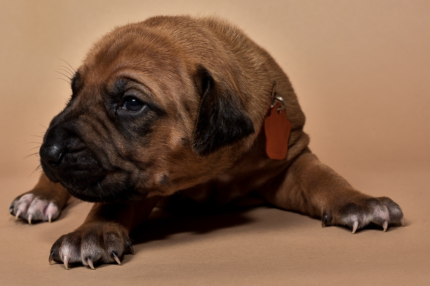 Rhodesian female puppies for sale in Texas o-2