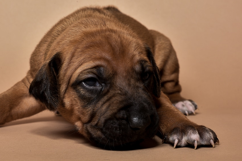 Rhodesian female puppies for sale in Texas o-3
