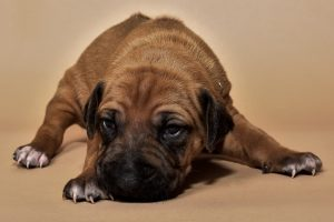 Rhodesian female puppies for sale in Texas o