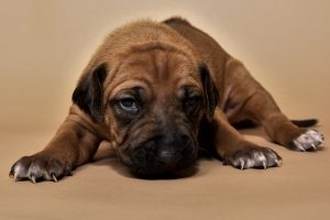 Rhodesian female puppies for sale in Texas o-4