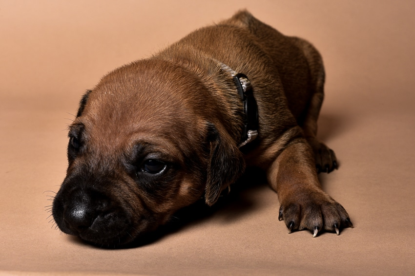 Rhodesian male puppies for sale Texas-10
