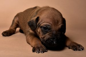 Rhodesian male puppies for sale Texas-11