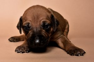 Rhodesian male puppies for sale Texas-3