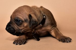 Rhodesian male puppies for sale Texas