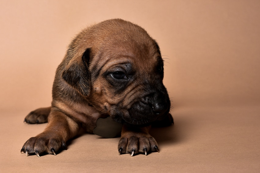 Rhodesian male puppies for sale Texas-4