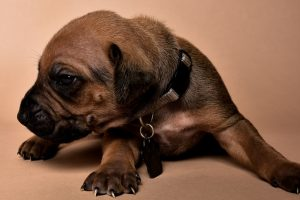 Rhodesian male puppies for sale Texas-5