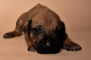 Rhodesian male puppies for sale Texas-6