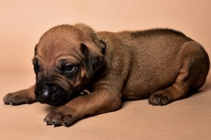 Rhodesian male puppies for sale Texas-9