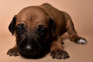 Rhodesian male puppies for sale in Texas-3