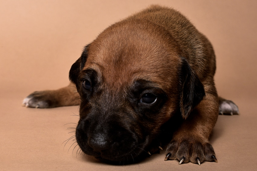 Rhodesian male puppies for sale in Texas-4
