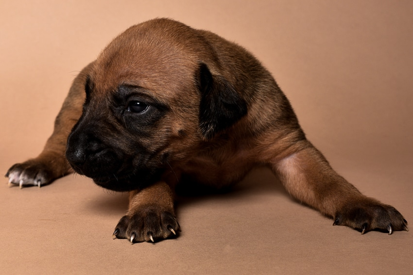Rhodesian male puppies for sale in Texas-5